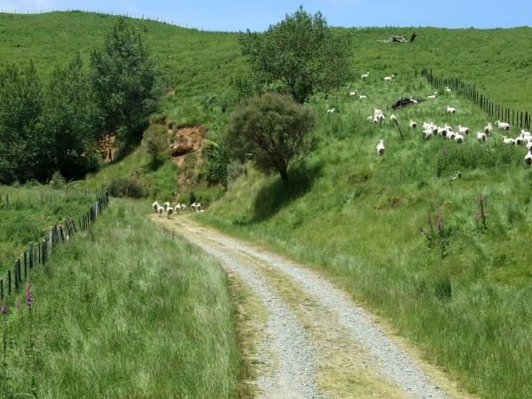 Sheep on Owawenga Road