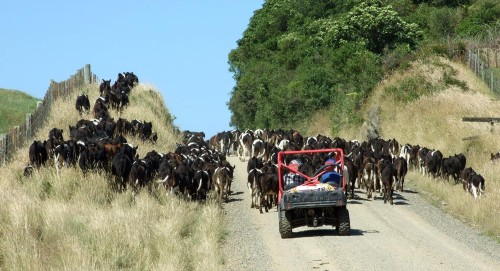 Traffic on Ringanui Road
