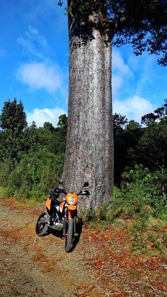 Big trees on the Tapu Coroglen Road