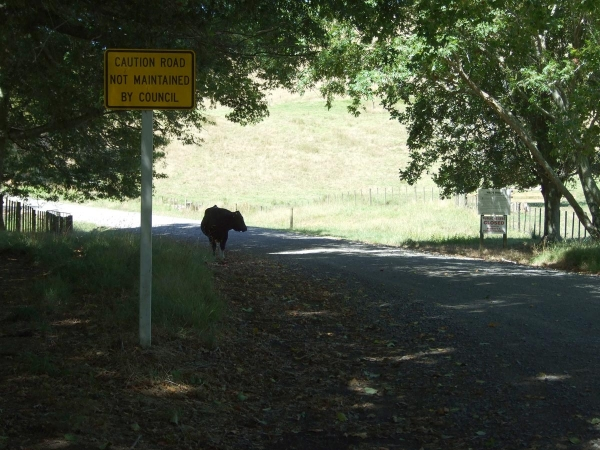 A bull loose on Wade Road
