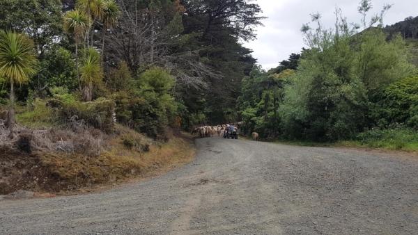 Traffic on Waiotemarama Gorge Road